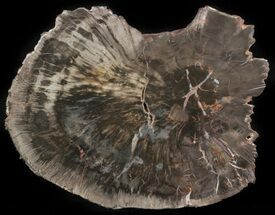 "Buy 7.8"" Petrified Wood (Araucaria) Round - Arizona  - #41350"