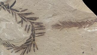 Metasequoia (Dawn Redwood) Fossil - Montana For Sale, #41453