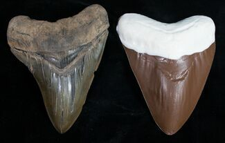 Giant Chocolate Megalodon Teeth - Discounted For Sale, #41597