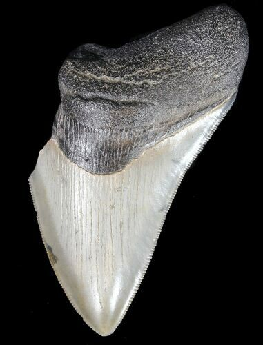 "Partial, Serrated 3.92"" Megalodon Tooth - Georgia"