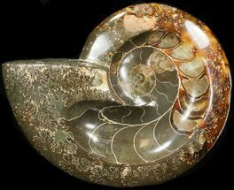 "6.25"" Wide Polished Ammonite 'Dish' For Sale, #41645"