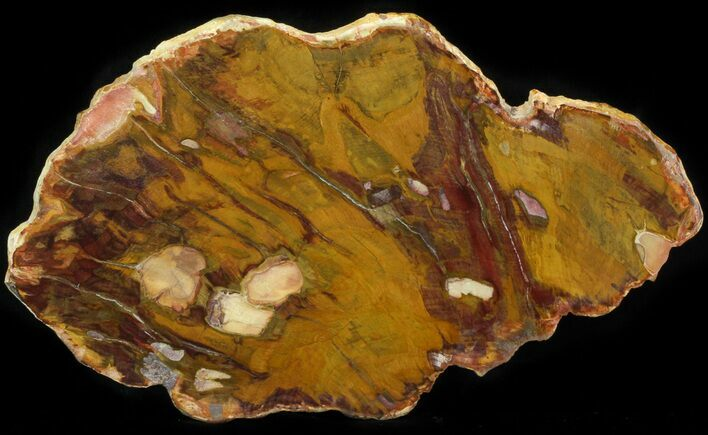 "9.4"" Polished, Jurassic Petrified Wood (Conifer) - Australia"