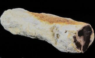 "4"" Petrified Wood Limb - Nevada  For Sale, #42124"