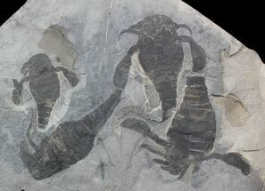 Eurypterus remipes - Fossils For Sale - #42246