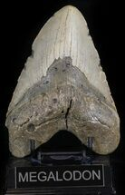 "Huge, 5.69"" Megalodon Tooth - North Carolina For Sale, #42293"