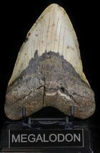 "Large, 5.21"" Megalodon Tooth - North Carolina For Sale, #42296"