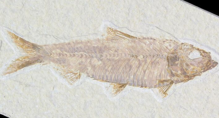 "Detailed, 4"" Knightia Fossil Fish - Wyoming"