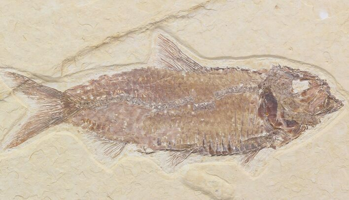 "Detailed, 4.9"" Knightia Fossil Fish - Wyoming"