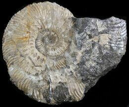 "2"" Wide Kosmoceras Ammonite - England For Sale, #42656"