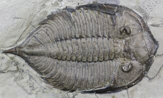 "Buy 2.8"" Dalmanites Trilobite - New York - #42679"