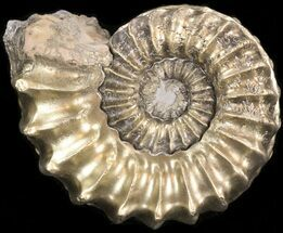 "2"" Pyritized Pleuroceras Ammonite - Germany For Sale, #42725"