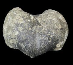 "Large, 2.15"" Pyrite Replaced Brachiopod (Paraspirifer) - Ohio For Sale, #42839"