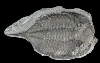 "Bargain 2.4"" Dalmanites Trilobite - New York For Sale, #42977"