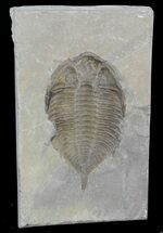 Dalmanites Trilobite Negative Impression - New York For Sale, #42986