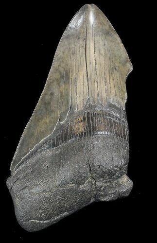 "Partial, Serrated 4.13"" Megalodon Tooth - South Carolina"