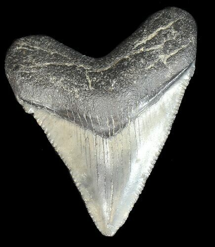 "Serrated, 1.89"" Juvenile Megalodon Tooth - Georgia"