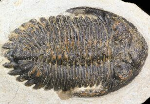 "Bargain, 2.4"" Hollardops Trilobite  For Sale, #43472"