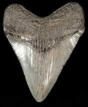 "2.19"" Megalodon Tooth - South Carolina For Sale, #43589"
