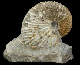 "1.6"" Hoploscaphites (Jeletzkytes) Ammonite Cluster- South Dakota For Sale, #44021"