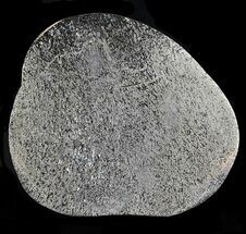 "Buy Pyritized 3.7"" Polished Iguanodon Bone - Isle Of Wight - #44266"
