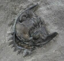 Enrolled Greenops Trilobite - New York  For Sale, #44666