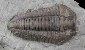 "Buy 1.5"" Flexicalymene Trilobite From Ohio - #45055"