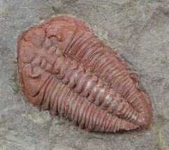 "1.3"" Orange Colpocoryphe? Trilobite - Zagora, Morocco For Sale, #45092"