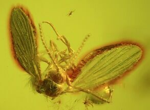 Detailed Fossil Fly (Diptera) In Baltic Amber For Sale, #45176