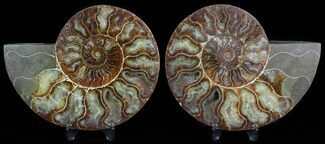 "Buy 4.4"" Sliced Fossil Ammonite Pair - Agatized - #45487"
