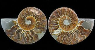 "5.1"" Cut & Polished Ammonite Pair - Crystal Pockets For Sale, #45503"
