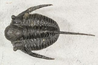 Cyphaspis sp. - Fossils For Sale - #45603