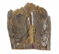 "Buy .32"" Edmontosaurus (Duck-Billed Dinosaur) Shed Tooth - #39751"