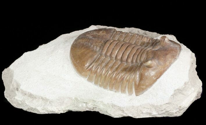"3.05"" Asaphus Lepidurus Trilobite - Very Large For Species"
