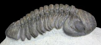 "Buy 2.2"" Barrandeops Trilobite - Nice Eye Facets - #46336"