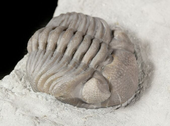 "1.25"" Wide Enrolled Eldredgeops Trilobite In Shale - Ohio"