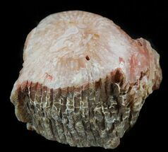 Buy Pennsylvanian Aged Red Agatized Horn Coral - Utah - #46723