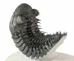 "5.5"" Curved Drotops Armatus Trilobite - Super Spiny For Sale, #37517"