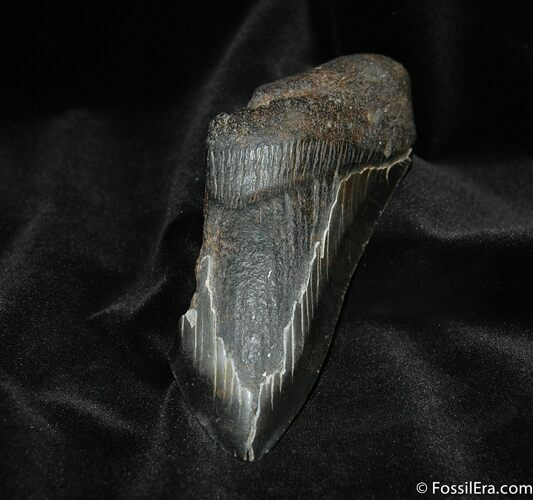Partial 5.35 Inch Megalodon Tooth