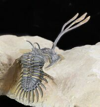 Buy Superbly Prepared Walliserops Trilobite With Diademaproetus - #47356