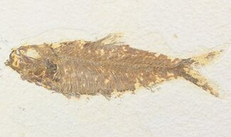 "4.8"" Knightia Fossil Fish - Wyoming For Sale, #48185"
