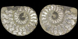 "Buy 1.6"" Pyritized Ammonite Fossil Pair - #48079"