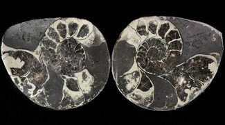 "Buy 1.5"" Pyritized Ammonite Fossil Pair - #48094"