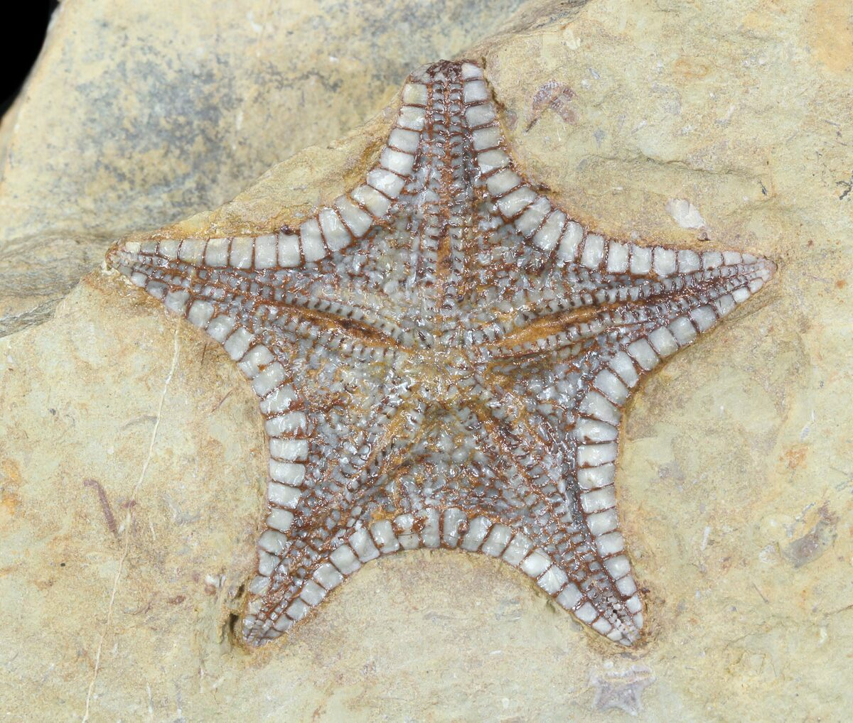 Rare, Cretaceous Starfish (Marocaster) - Large Specimens ...