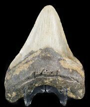 Carcharocles megalodon - Fossils For Sale - #48291