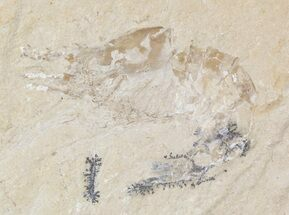 Cretaceous Fossil Shrimp (Carpopenaeus) - Lebanon For Sale, #48557