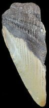 Carcharocles megalodon - Fossils For Sale - #48951