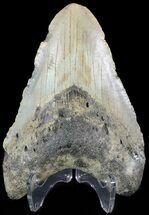 "Buy Bargain 4.33"" Megalodon Tooth - North Carolina - #48910"
