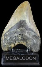Carcharocles megalodon - Fossils For Sale - #49524
