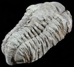 "3.2"" Calymene Trilobite From Morocco  For Sale, #49664"