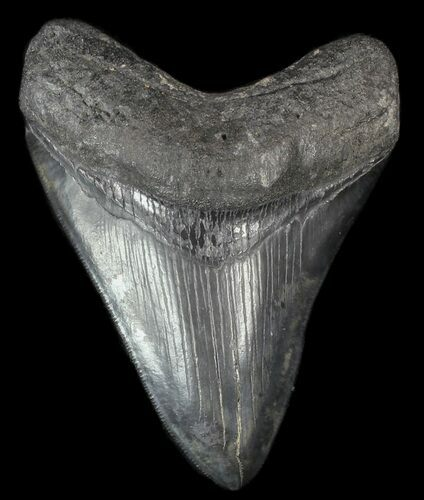 "Serrated, 4.20"" Fossil Megalodon Tooth - South Carolina"